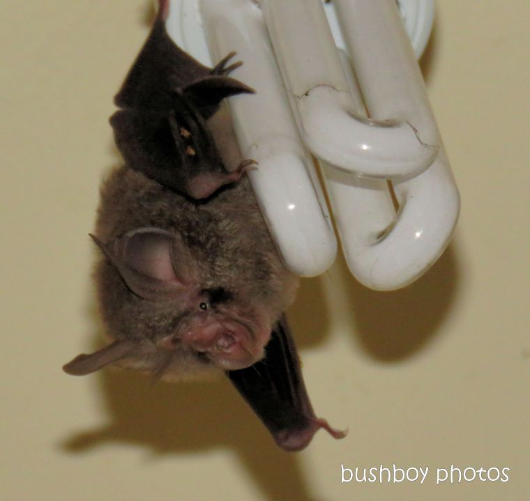 bat_micro_lesser_long_eared_named_home_jackadgery_jan 2019