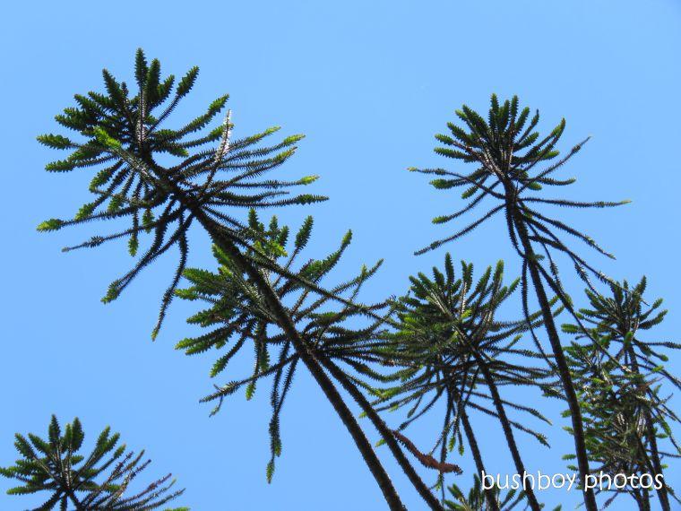 bunya_pine_sky_gardens_named_toowoomba_jan 2019