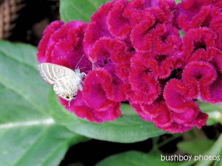 butterfly_wattle line blue_flower_celosia_red_named_toowoomba_jan 2019