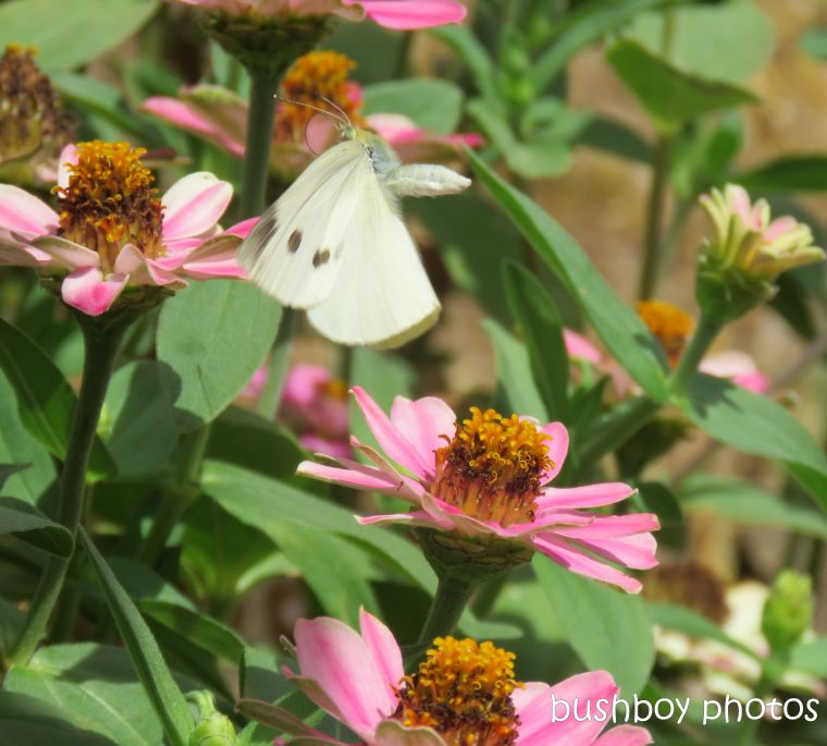 cabbage white_butterfly_flying_named_caniaba_jan 2019
