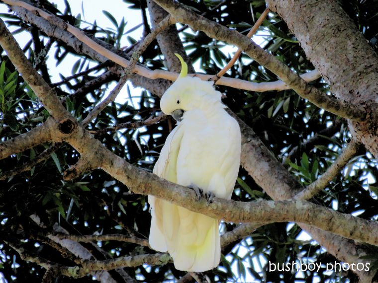 cockatoo_sulpher_crested_gardens_named_toowoomba_jan 2019