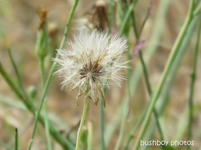 dandelion_seed_head_named_caniaba_jan 2019