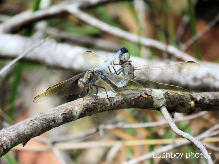 dragonflies_mating_bush_home_jackadgery_jan 2019