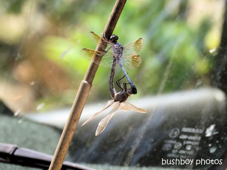 dragonflies_mating_car_aerial_home_jackadgery_jan 2019