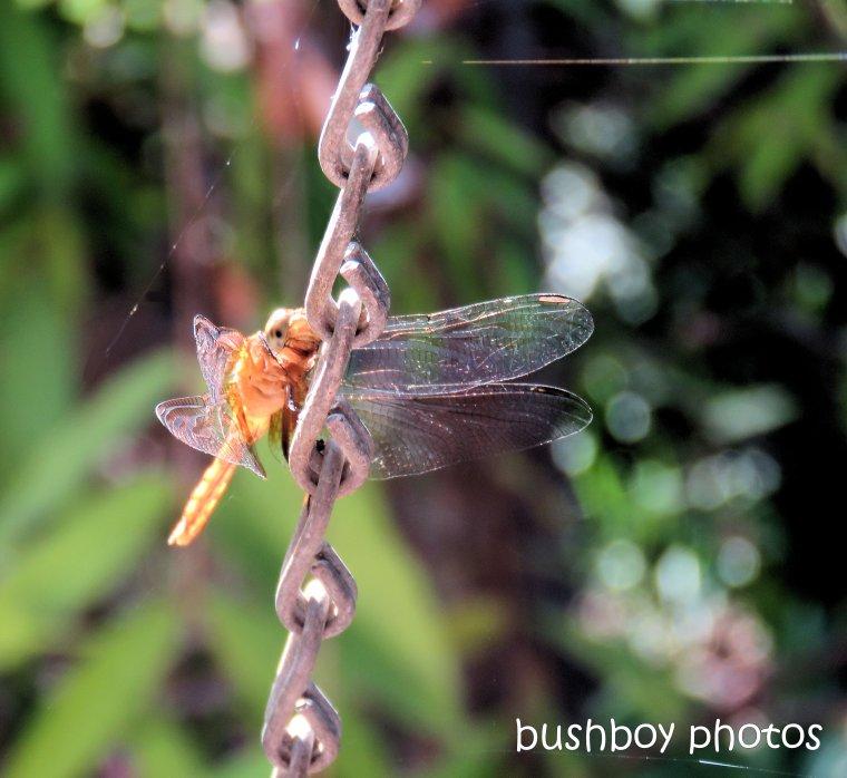 dragonfly_gold_durranbah_jan 2019