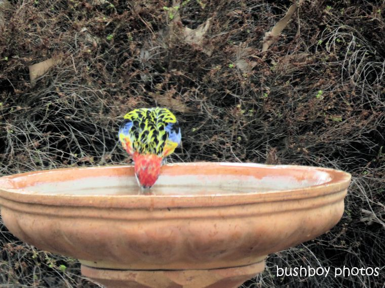 eastern rosella_birdbath_drinking_named_caniaba_jan 2019