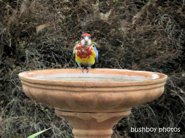 eastern rosella_birdbath_named_caniaba_jan 2019