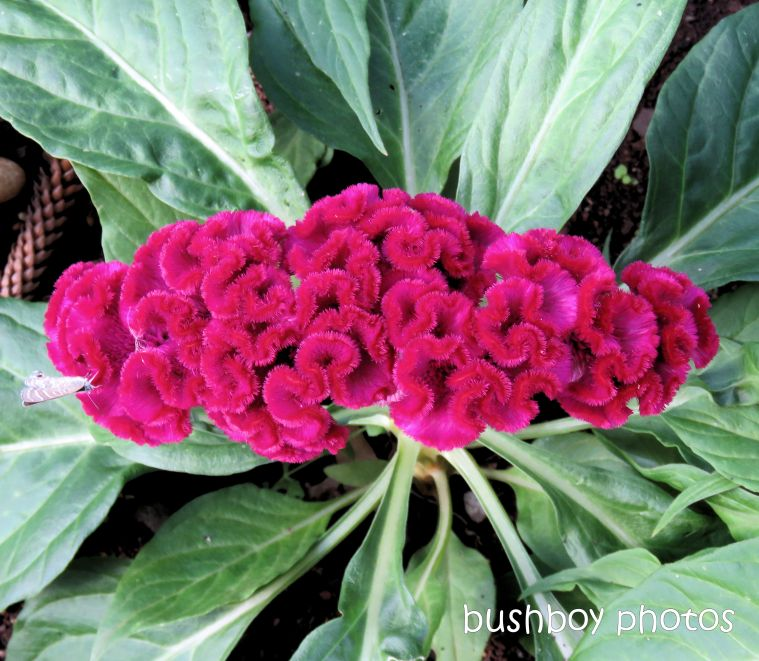 flower_celosia_red_line blue_butterfly_named_toowoomba_jan 2019