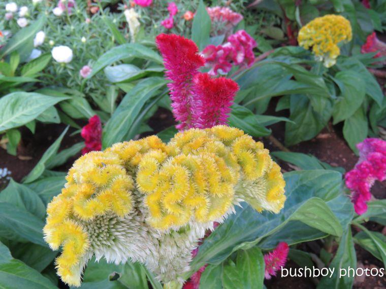 flower_celosia_yellow_named_toowoomba_jan 2019