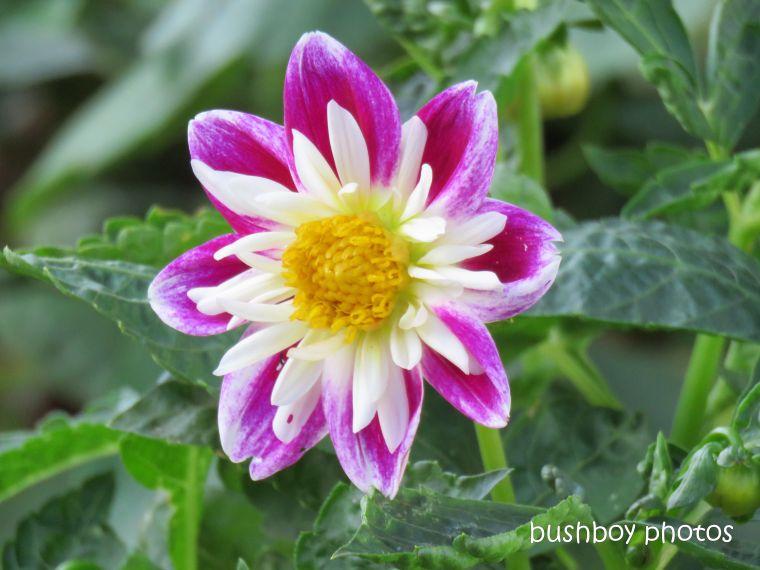 flower_colourful_named_toowoomba_jan 2019