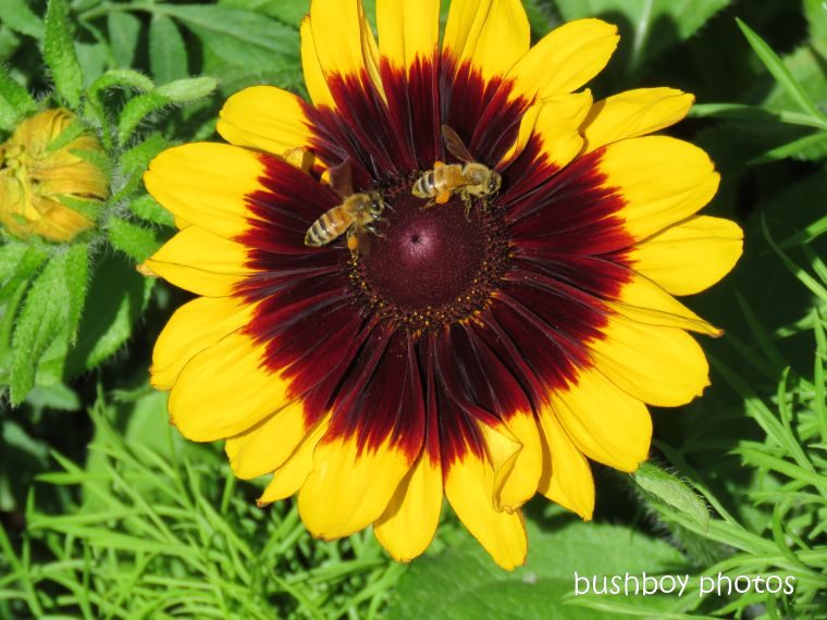flower_gazania_bees_named_toowoomba_jan 2019