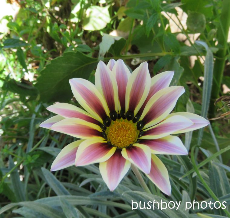 flower_gazania_garden_named_toowoomba_jan 2019