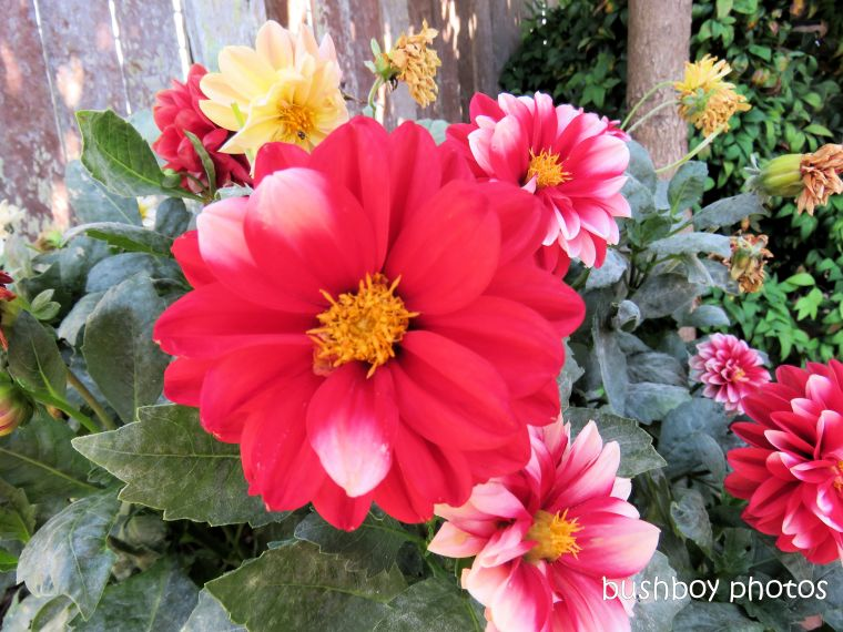 flowers_dahlia_named_toowoomba_jan 2019