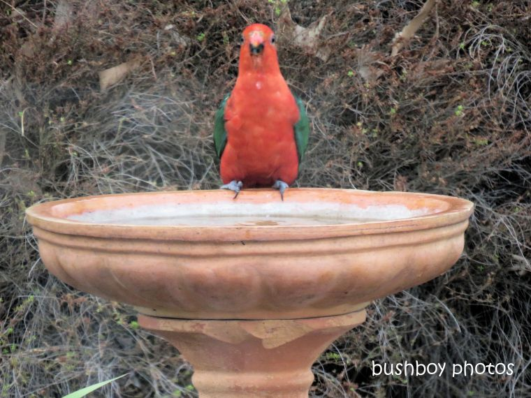 king parrot_birdbath_named_caniaba_jan 2019