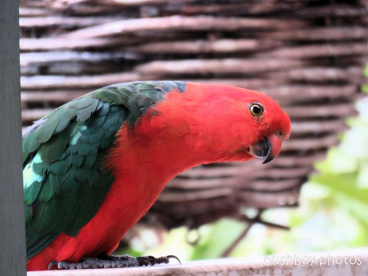 king parrot_male_verandah_home_jackadgery_jan 2019