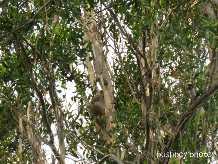 koala_spotting4