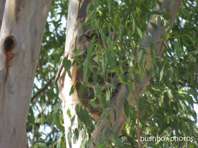 koala_spotting5
