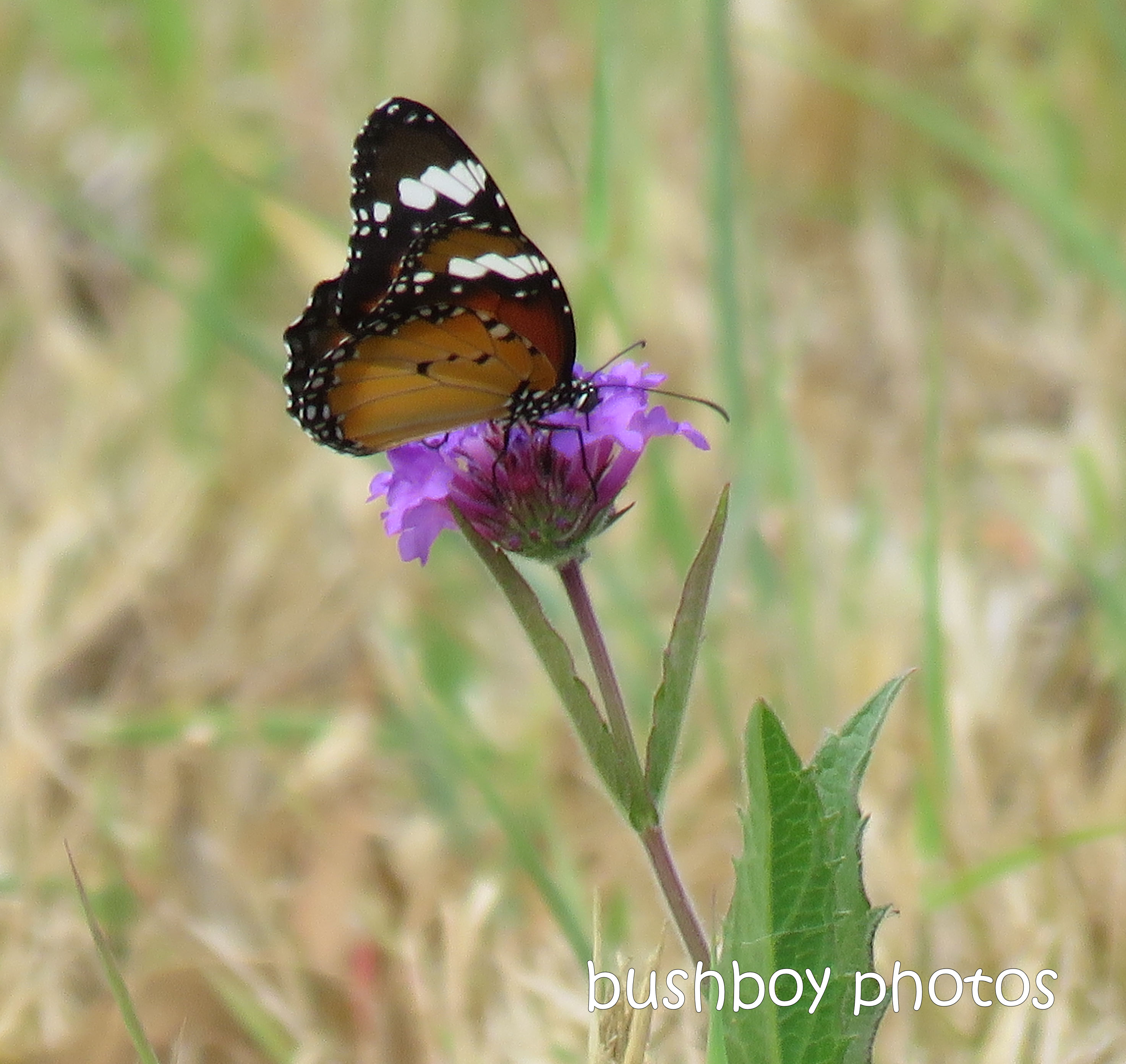 lesser wanderer_butterfly_purple_flower_named_caniaba_jan 2019
