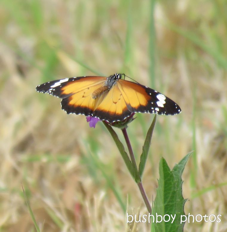lesser wanderer_butterfly_wings_open_purple_flower_named_caniaba_jan 2019