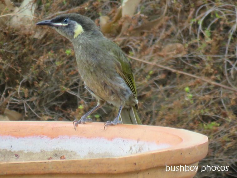 lewins honeyeater_birdbath_named_caniaba_jan 2019