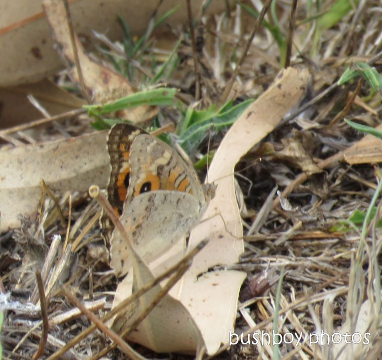 meadow argus_butterfly_closed_named_caniaba_jan 2019