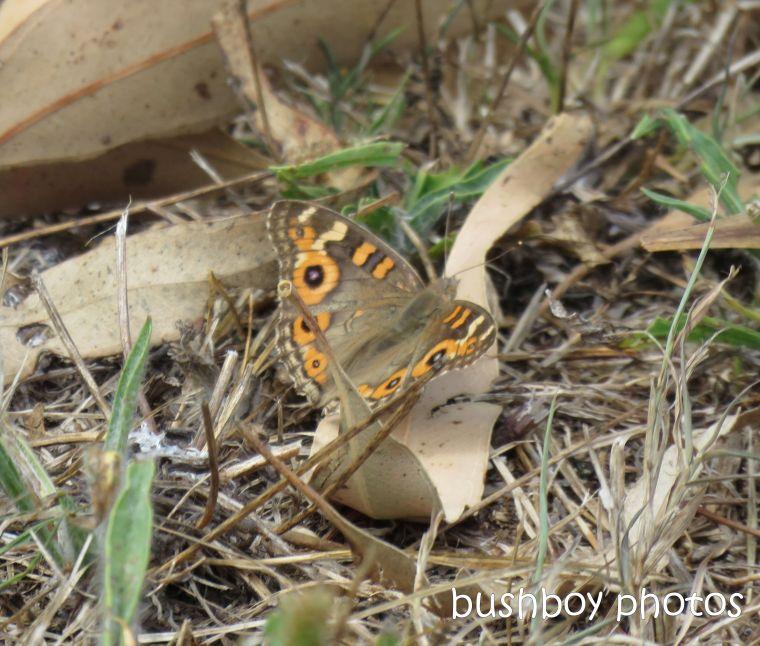 meadow argus_butterfly_named_caniaba_jan 2019