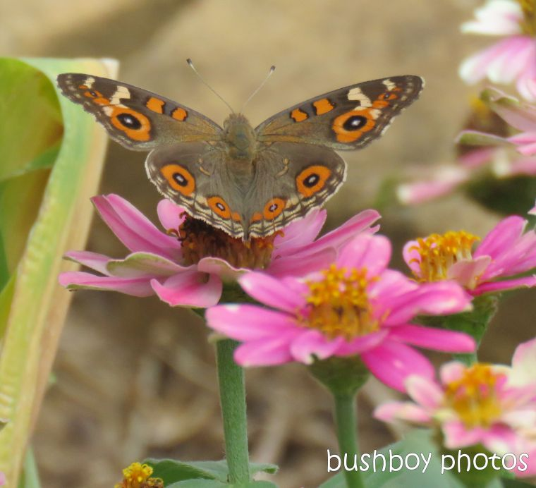 meadow argus_butterfly_pink_flowers_named_caniaba_jan 2019