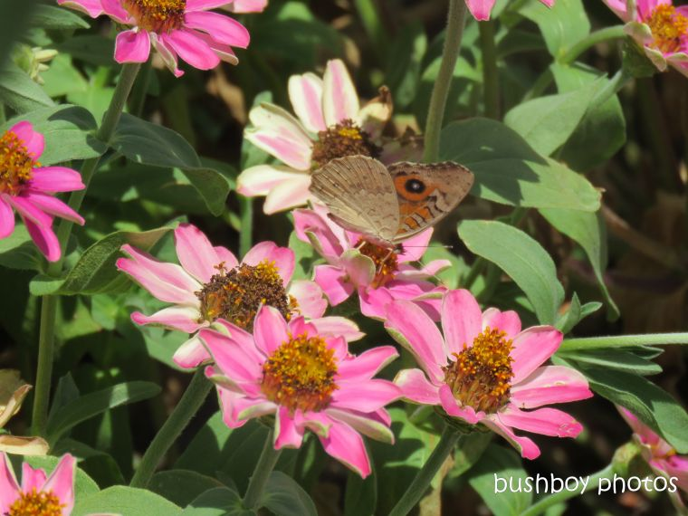 meadow_argus_butterfly_flowers_named_caniaba_jan 2019