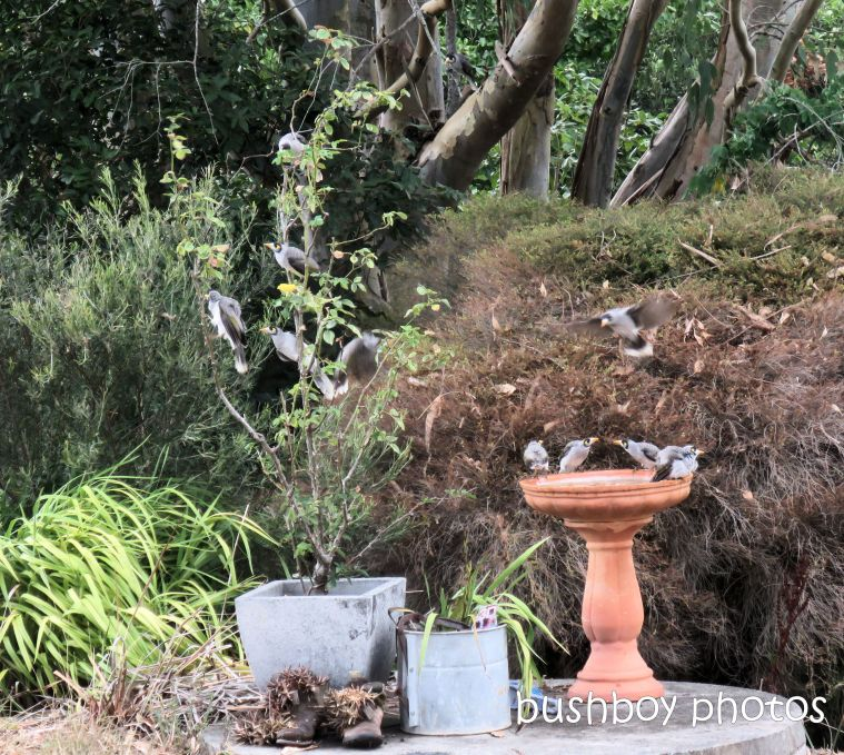 noisy miners_birdbath_named_caniaba_jan 2019