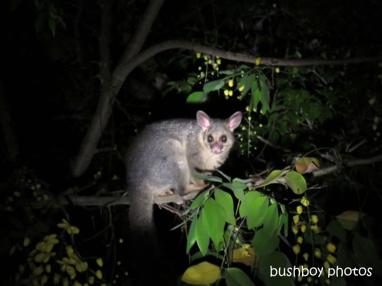 possum_cassia_night_named_home_jackadgery_jan 2019