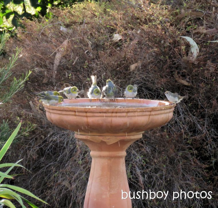 silvereyes_birdbath_named_caniaba_jan 2019
