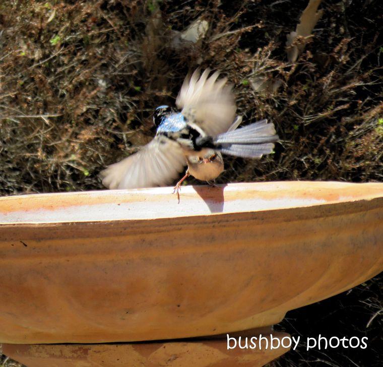 superb fairy wrens_birdbath_flying_named_caniaba_jan 2019