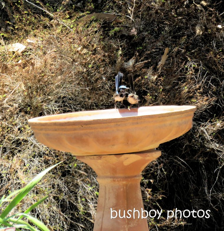 superb fairy wrens_birdbath_named_caniaba_jan 2019