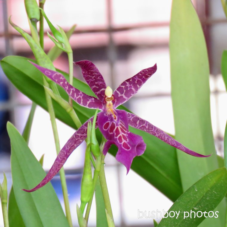190307_spiky_square_orchid