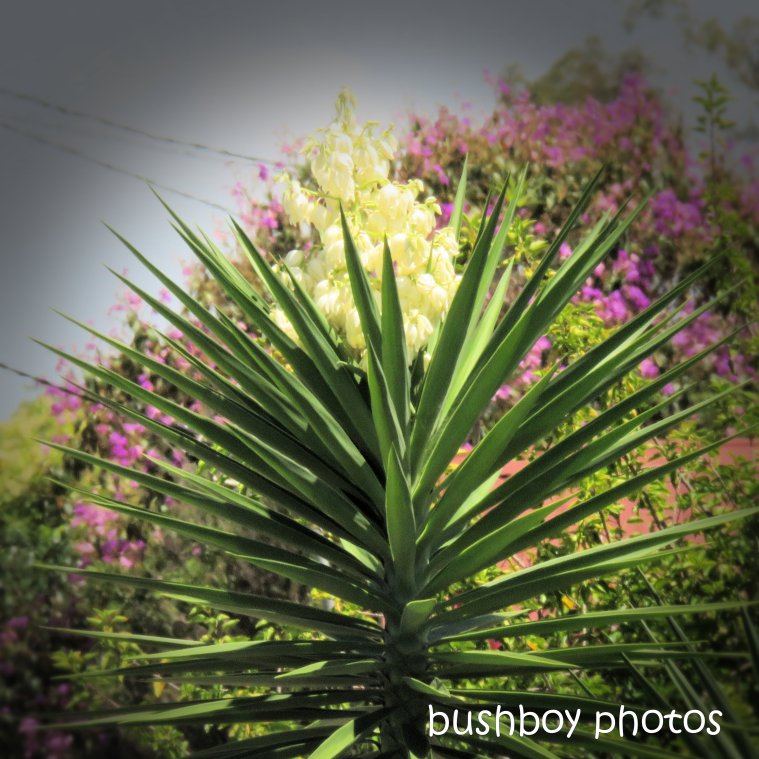 190319_spiky_square_yucca