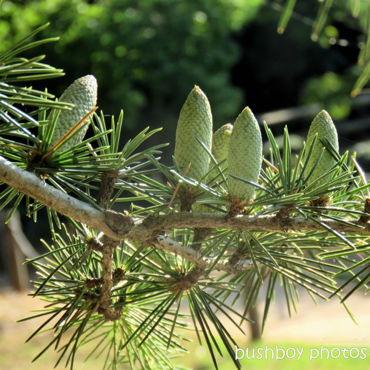 190325_spiky_square_pine_cones