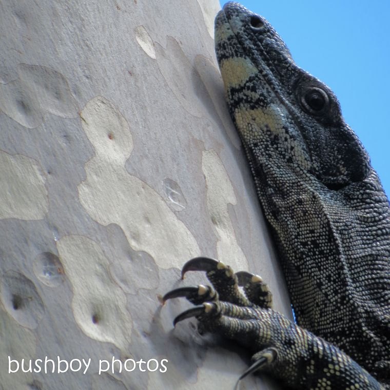 190326_spiky_square_goanna