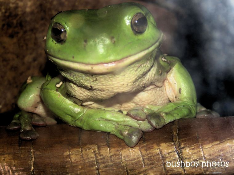 190327_wordless_wednesday_green_tree_frog