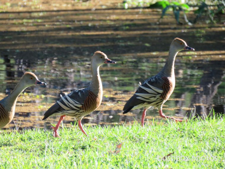 190328_blog_challenge_in_a_row_plumed_whistling_ducks