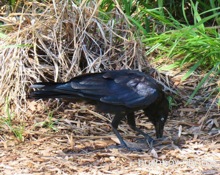 australian raven_lismore_feb 2019
