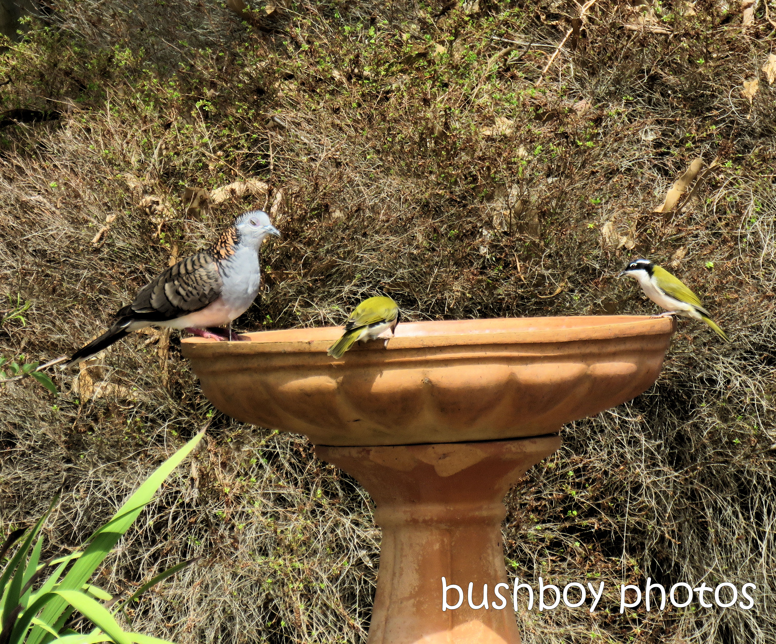 bar-shouldered dove_white-throated honeyeaters_bird_bath_garden_caniaba_feb 2019