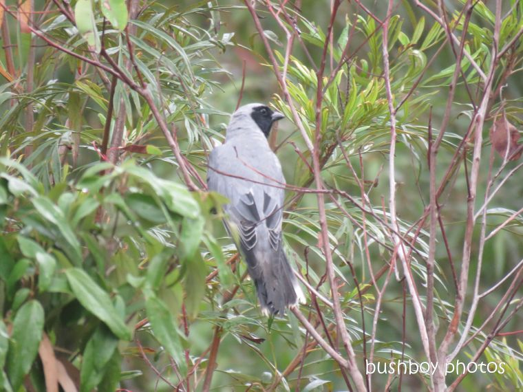 black_faced_cuckoo_shrike1_named_caniaba_march 2019