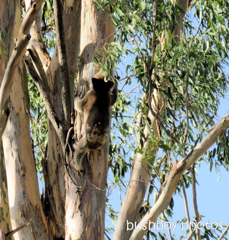koala_tree_climbing_caniaba_feb 2019