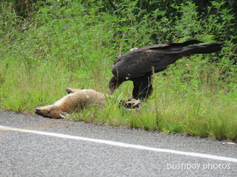 wedged-tailed eagle_wallaby_eating_named_dilkoon2_march 2019