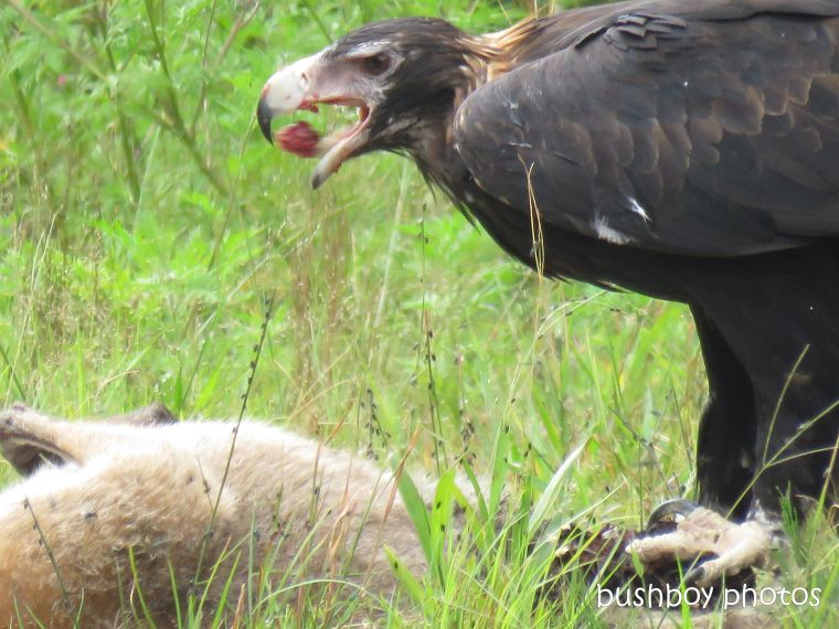 wedged-tailed eagle_wallaby_eating_named_dilkoon4_march 2019