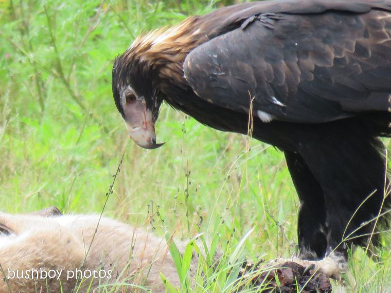 wedged-tailed eagle_wallaby_eating_named_dilkoon6_march 2019