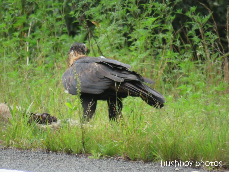 wedged-tailed eagle_wallaby_eating_named_dilkoon7_march 2019