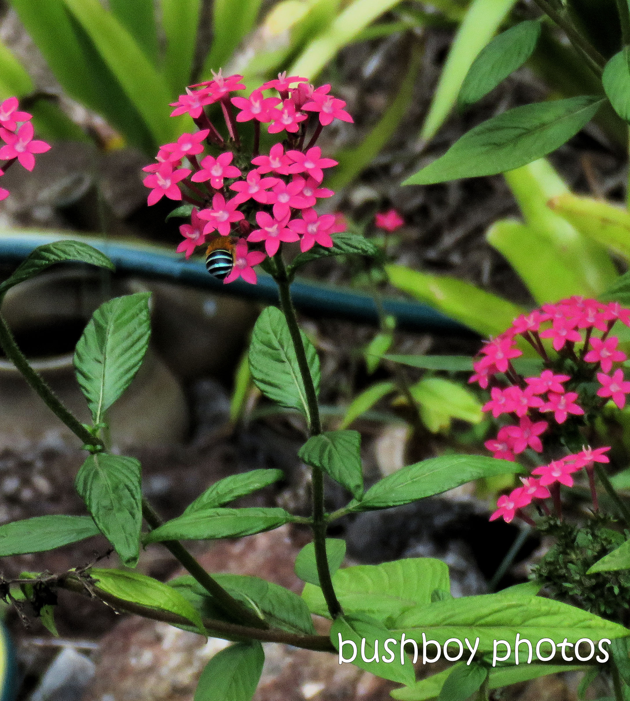190401_blog_challenge_hello_april_durranbah_blue_banded_bee_pentas_flower