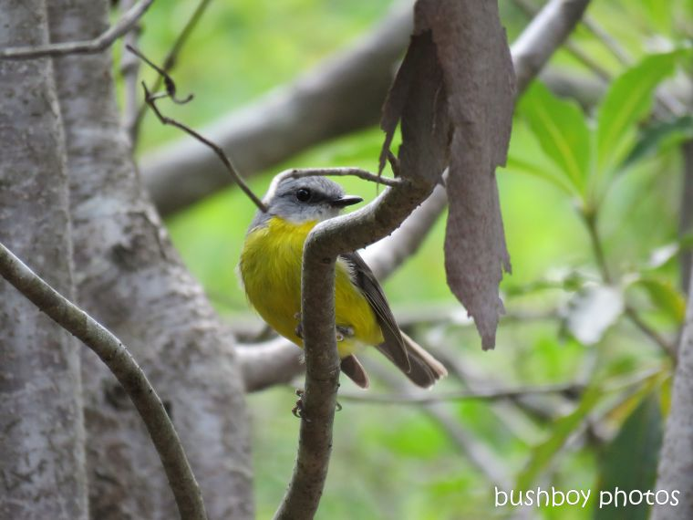 190401_blog_challenge_hello_april_durranbah_eastern_yellow_robin
