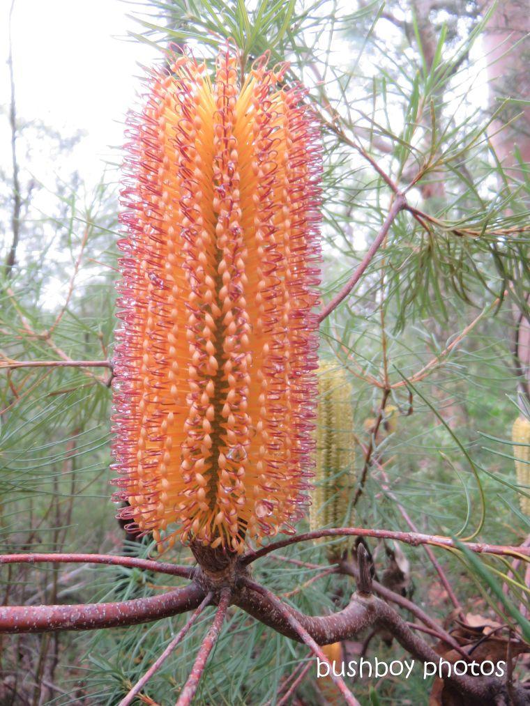 190411_blog_challenge_flower_banksia_spinulosa1